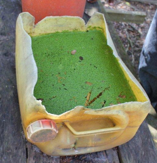 Transplanting duckweed starters duckweed gardening for Garden pool duckweed
