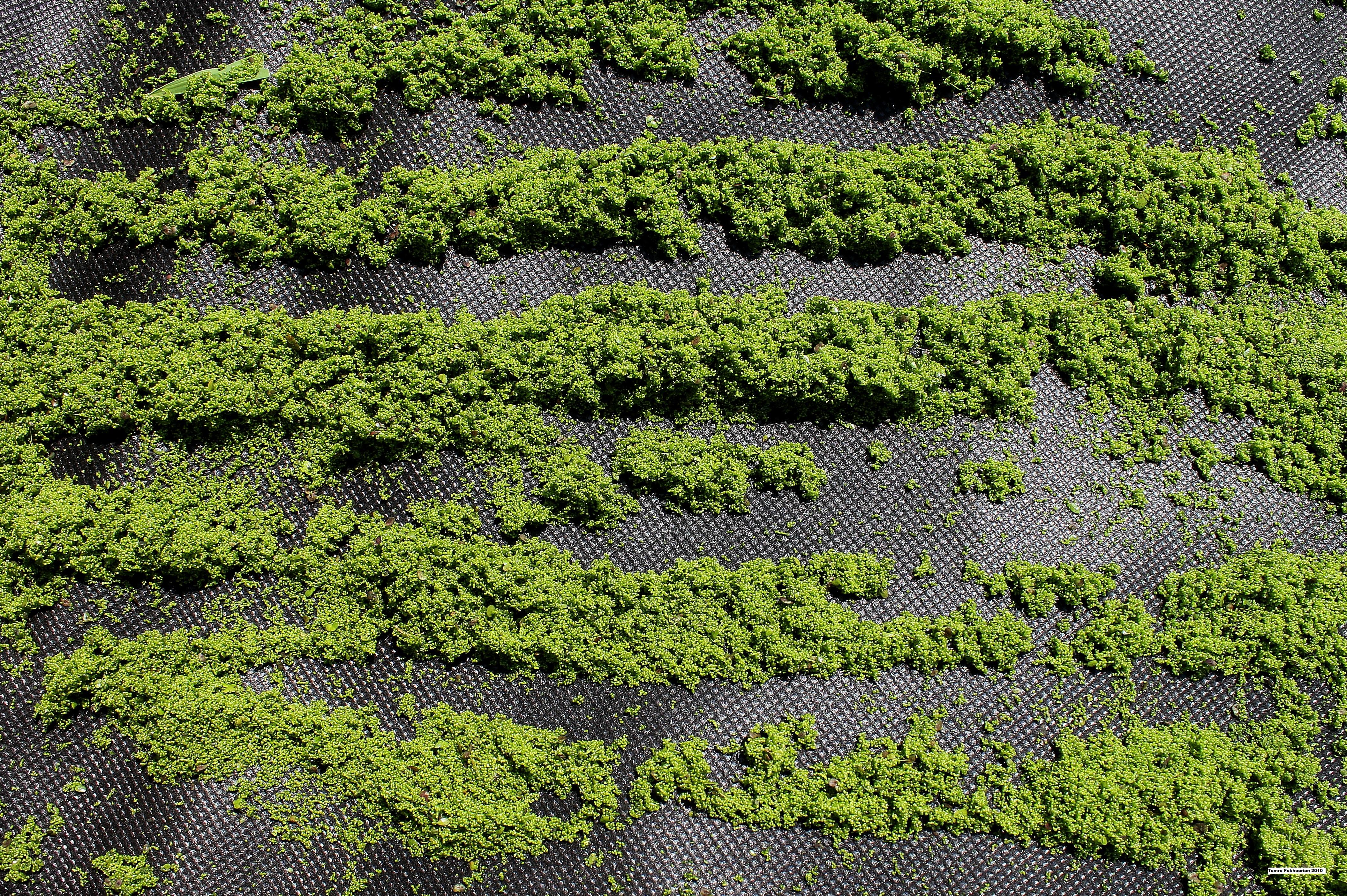 Drying Duckweed Sustainably Duckweed Gardening