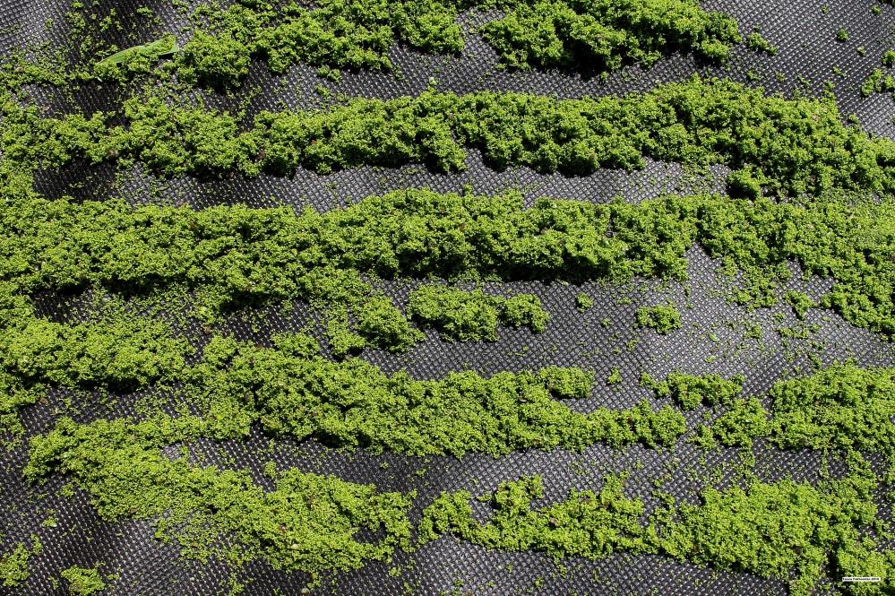 Drying Duckweed Sustainably (2/2)