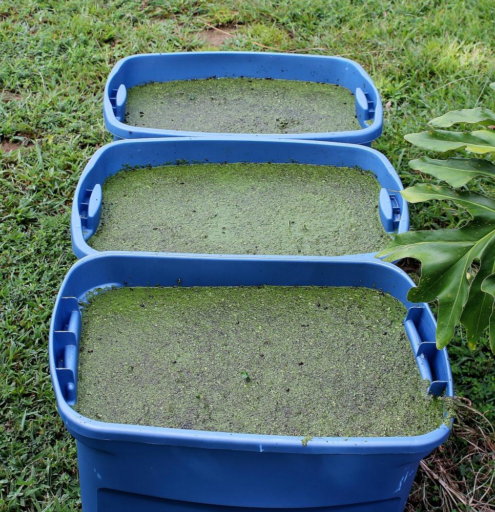 Duckweed Growing Tips and Tricks