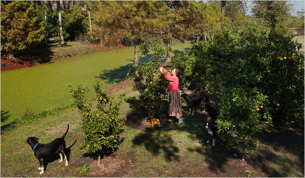Duckweed as Fertilizer for Citrus Grower