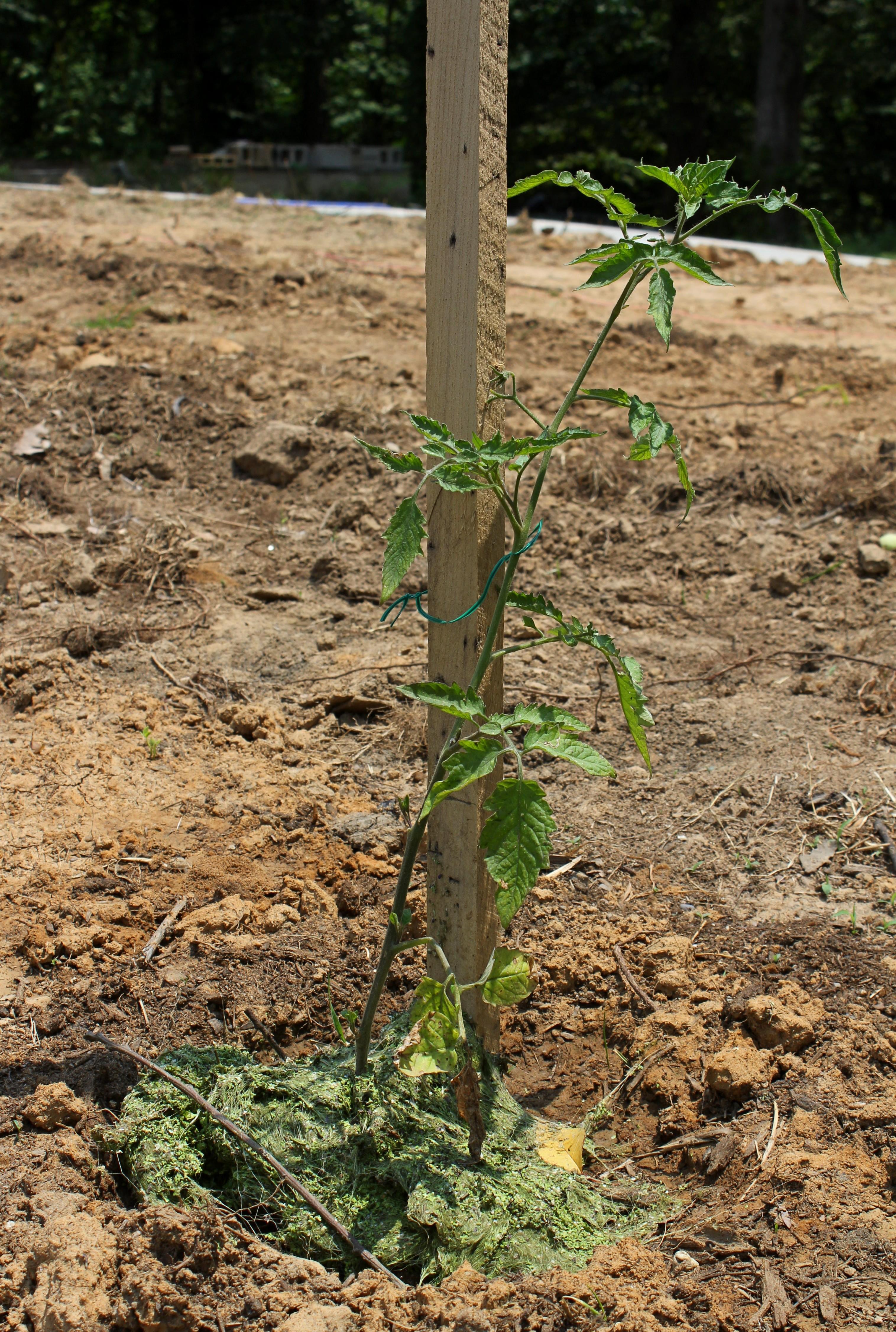 Green duckweed mulch to the rescue? | Duckweed Gardening
