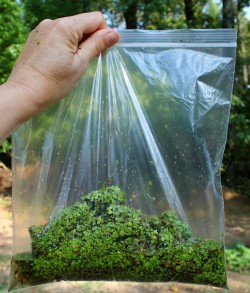 Bag of duckweed for adoption