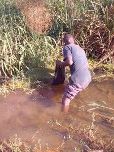 wild harvetsing duckweed in Uganda